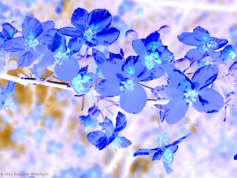 Acacia Flower Dream by Benjamin Whitehurst