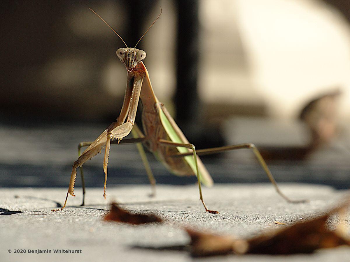 Dream About Praying Mantis